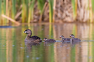 With her chicks in tow, a pied-billed grebe moves her new family to a safe location