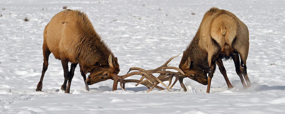 The 25,000 acre National Elk Refuge,  is home to the world's largest concentration of wintering elk, including many impressive bulls, like these two giants.  Most of the elk at the refuge migrate from Grand Teton National Park during what is considered the longest elk herd migration in the United States.