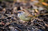 Zapata Sparrow (Torreornis inexpectata inexpectata), Cuba