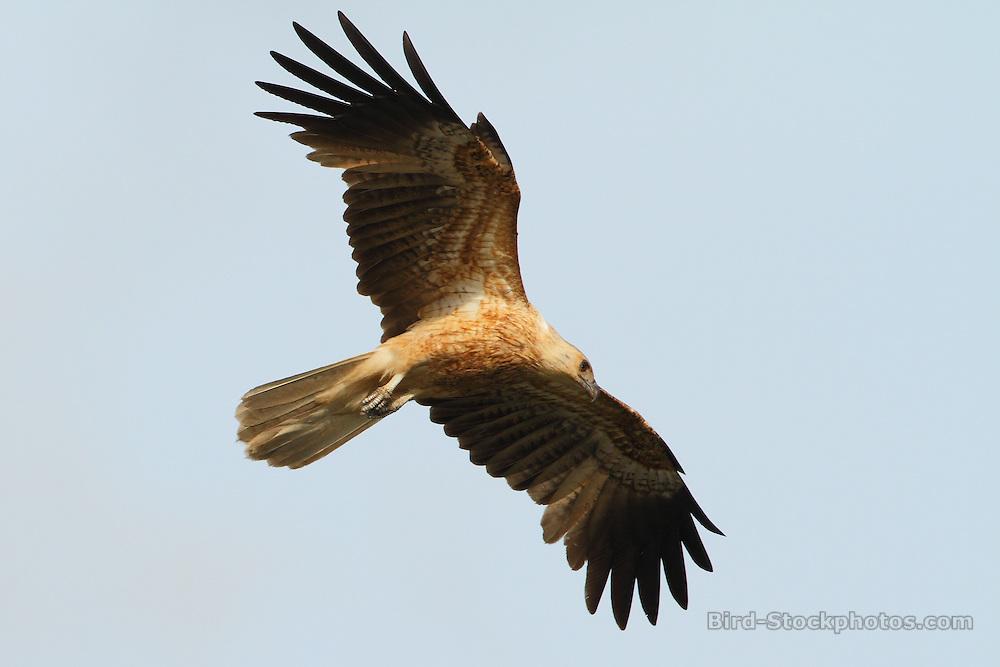 Whistling Kite, Haliastur sphenurus, flying, Papua New Guinea, by Markus Lilje