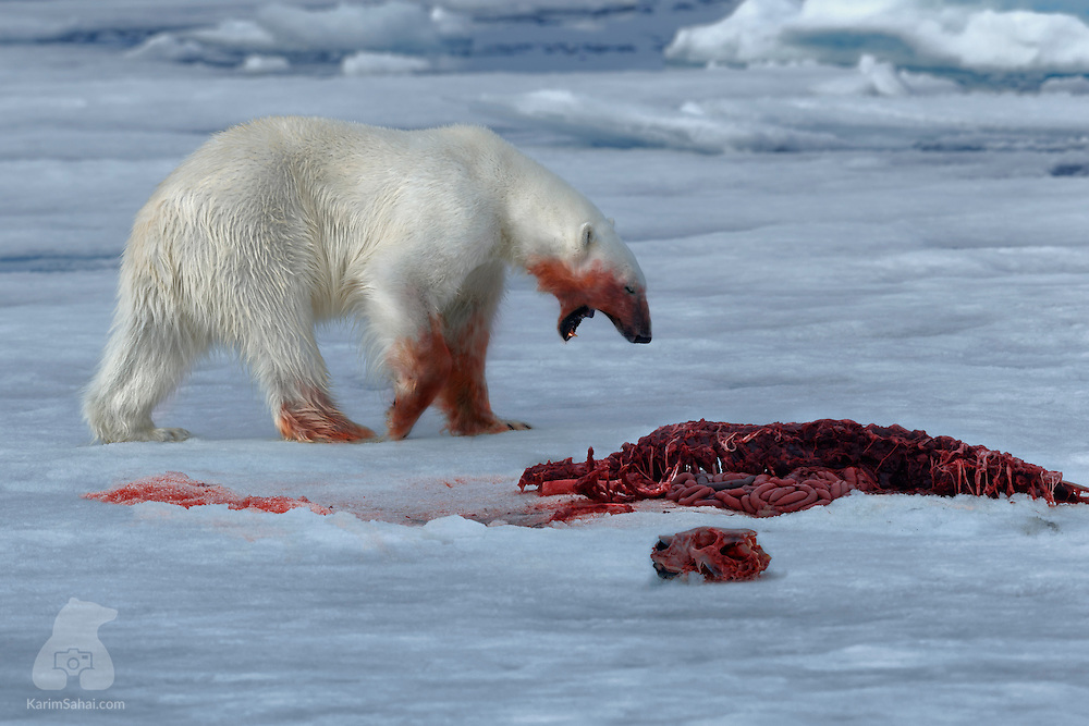 A polar bear roams on the floating ice, near the remains of a seal which it attacked and killed. In Svalbard, the life of arctic mammals life is a constant balancing act between survival, breeding and feeding. For polar bears, fat from ringed seals is the main staple. They will wait for long time near breathing holes in the ice or approach the ice edge stealthily before pouncing.