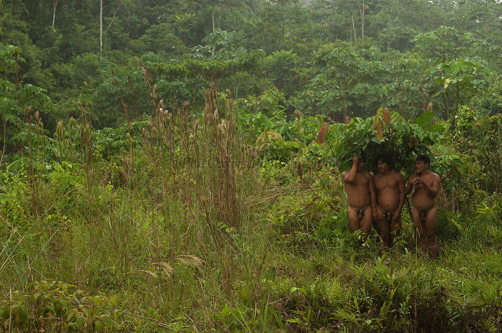 Huaorani Indians using banana leaves as umbrellas to shelter from the rain.<br /> Bameno Community. Yasuni National Park.<br /> Amazon rainforest, ECUADOR.  South America<br /> This Indian tribe were basically uncontacted until 1956 when missionaries from the Summer Institute of Linguistics made contact with them. However there are still some groups from the tribe that remain uncontacted.  They are known as the Tagaeri & Taromenane. Traditionally these Indians were very hostile and killed many people who tried to enter into their territory. Their territory is in the Yasuni National Park which is now also being exploited for oil.
