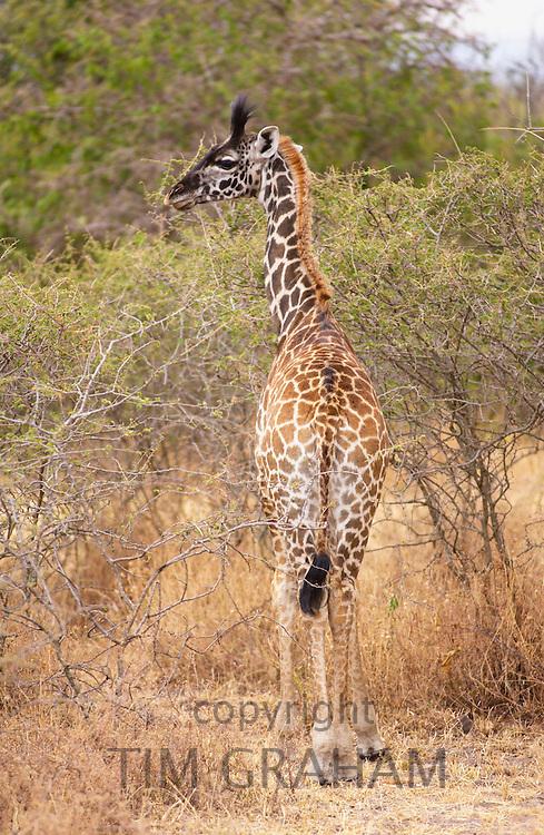 Young Giraffe, Grumeti, Tanzania