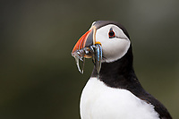 Papageitaucher mit Sandaalen, Farne Islands, England