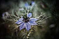 A surreal abstract of a Nigella Damascena blossom, also known as a devil-in-a-bush.