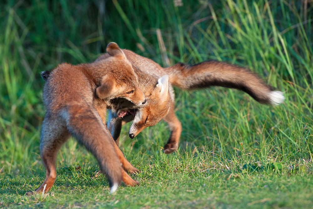Red fox cubs (vulpus vulpus) playing so they learn how to hunt. Amsterdamse waterleidingduinen, The Netherlands. 2011