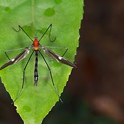 Tipulidae crane fly sat on a leaf.