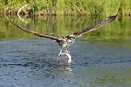 Osprey flies up from pond after capturing a fish, © 2015 David A. Ponton