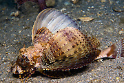 Banded Sea Robin (Prionotus ophryas) photographed near the Blue Heron Bridge in Singer Island, FL.