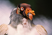 King Vulture<br />Sarcoramphus  papa<br />Amazon Rain Forest, PERU, CAATINGA - BRAZIL<br />RANGE: S. Mexico to N Argentina and Brazil