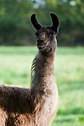 Female adult llama at Ferme de l'Eglise, Normandy, France