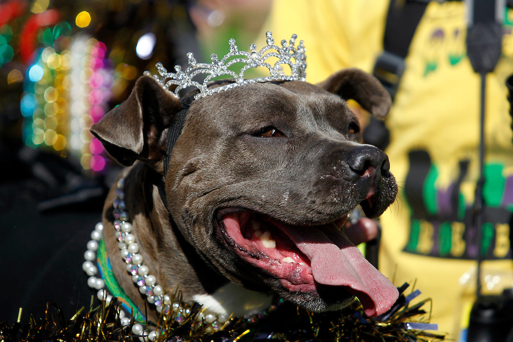 """The Mystic Krew of Barkus the dog parade with the theme """"Bark Wars: Return of the K-9"""" in the French Quarter of New Orleans, Louisiana on Sunday, February 8, 2015. Bands, floats, animals and animal lovers alike attended the parade on a warm Sunday."""