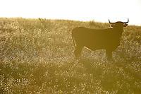 Morucha negra cattle,<br /> Ciudad Rodrigo, Salamanca Region, Castilla y Le&oacute;n, Spain