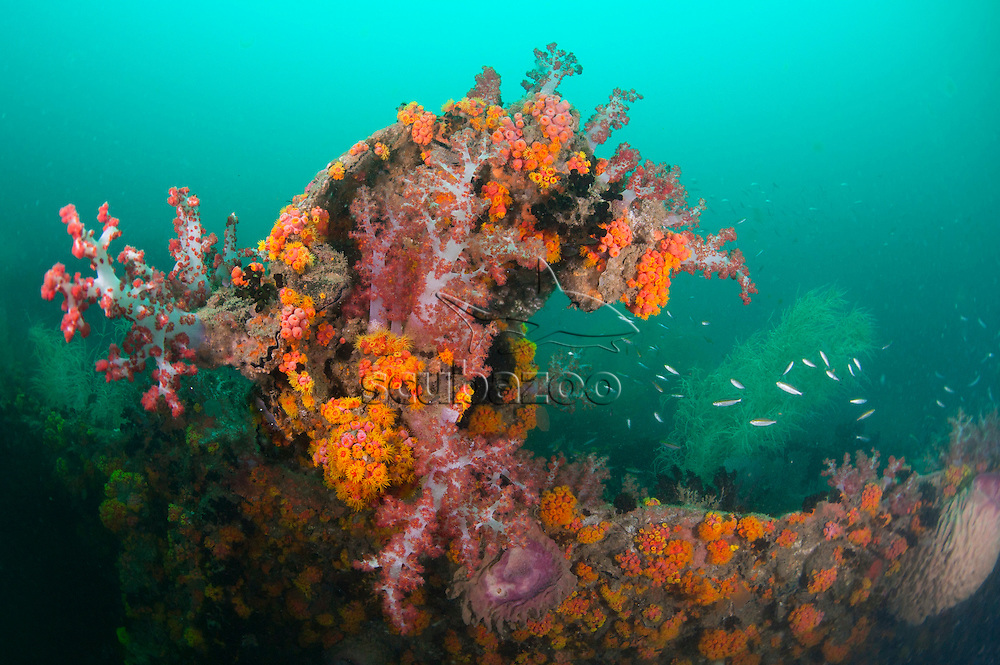 Soft coral and other invertebrates growing on the Usukan Wreck, Sabah, Borneo, East Malaysia.