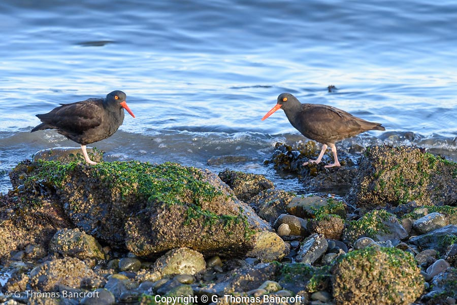 Two Black Oystercatchers amble along the shore of Padilla Bay enjoying the last afternoon sun on this winter day.
