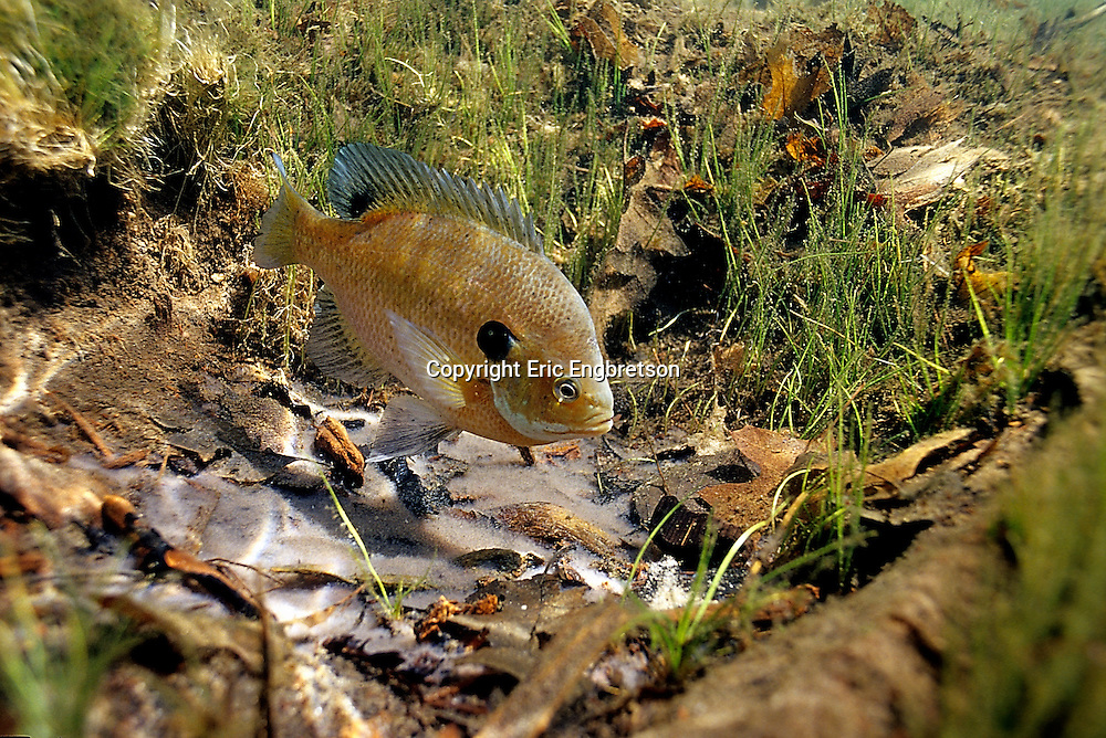 Bluegill Sunfish guarding eggs/nest<br /> <br /> ENGBRETSON UNDERWATER PHOTO