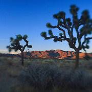 Joshua Tree Shadows At Dusk - Lensbaby