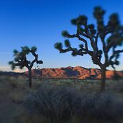 Joshua Tree Shadows At Dusk - Lensbaby