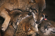 Wolf-pack (Canis lupus) insuring each other of their places in the hierarchy.