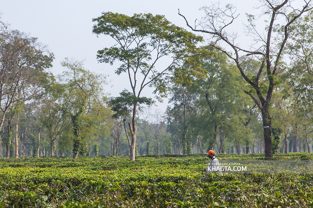 A tea worker pruning in a tea estate in Assam
