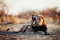 Botswana, Kalahari, private game reserve, captive male lion; lions are waiting to be released in the wild by the Wildlife Department of Botswana