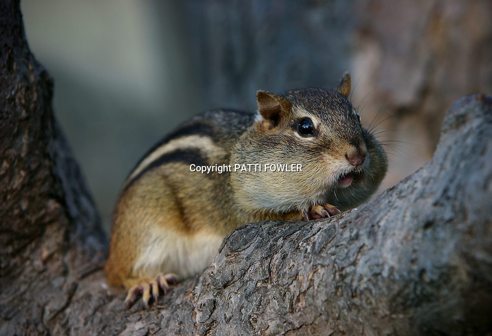 chipmunk with full cheeks in crook of tree trunk