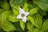 Cornaceae (Dogwoods)