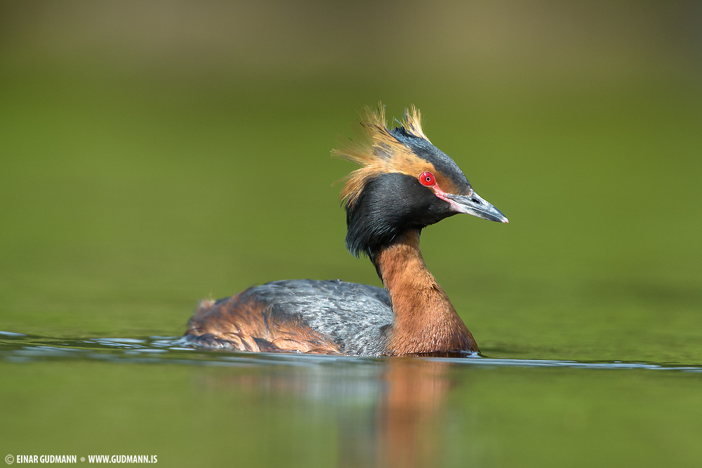 Like all grebes, it builds a nest  on the water's edge, since its legs are set very far back and it cannot walk well. Usually two eggs are laid, and the striped young are sometimes carried on the adult's back.