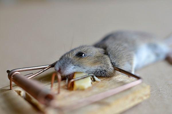 Nederland, Nijmegen, 2-11-2012Regelmatig vinden we een dode muis in de muizenval op zolder. Via een gaatje in het dak komen ze binnen.A dead mouse trapped in traditional wooden mousetrap with cheese.Foto: Flip Franssen/Hollandse Hoogte