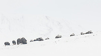 A large group of Musk Ox, Ovibos moschatus, are resting between feeds in Dovrefjell National Park, Norway.