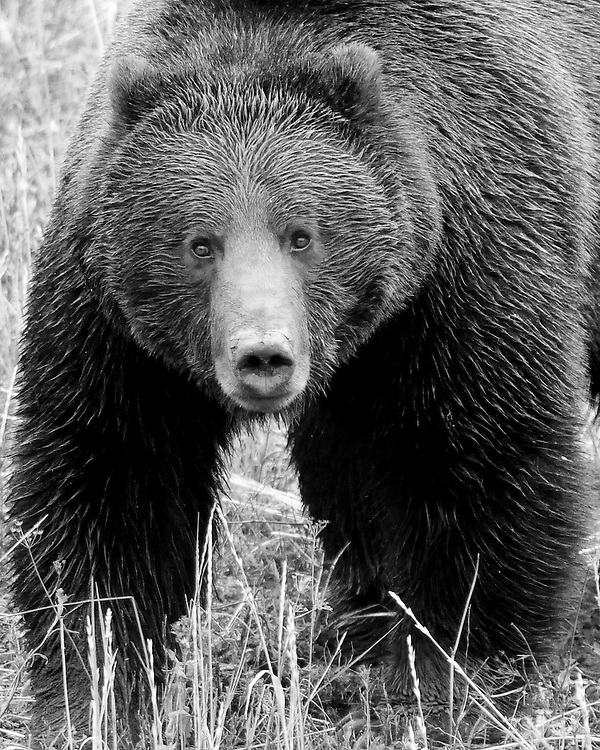 Grizzly bears are considered powerful, top of the food chain predators, however, they are classified as omnivores. Grizzlies, do eat animals, from rodents to moose, however, the majority of their diet consists of nuts, berries, fruit, leaves, grasses and roots.