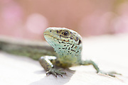 Common or viviparous lizard (Lacerta vivipara) on boardwalk. Surrey, UK.