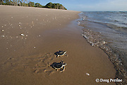 Australian flatback sea turtle hatchlings, Natator depressus, ( endemic to Australia & southern New Guninea ) crawl down nesting beach to ocean, Crab Island, off Cape York Peninsula, Torres Strait, Queensland, Australia