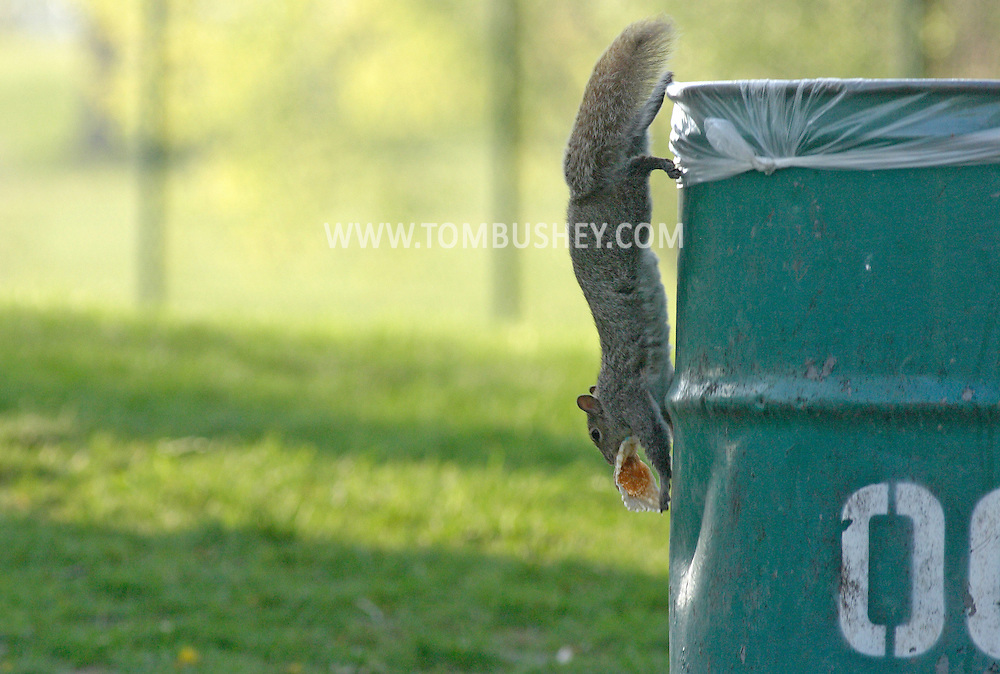 Hamptonburgh, N.Y. - A squirrel sits runs down the side of a garbage can while carrying a cupcake wrapper at Thomas Bull Memorial Park on May 6, 2006.