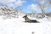 A 22-month-old female Blue Heeler / Australian Cattle Dog plays in the snow in Redington Pass in the Rincon Mountains of the Sonoran Desert east of Tucson, Arizona, USA.
