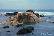 decomposing carcass of humpback whale, Megaptera novaeangliae, stranded on shoreline, Puako, Hawaii, USA ( Central Pacific Ocean )