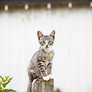 Gray tabby kitten seated on fencepost looking at camera intently