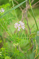 With its expansive range, this crown vetch is an invasive species with some benefit. The thick tangle of roots make this attractive Eurasian import with its odd-pinnate leaves very useful in preventing land erosion, and is often used as an ornamental ground cover. This particular one was photographed on the edge of a steep hillside in Iowa's Waubonsie State Park.