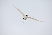Red Tailed Tropic Bird in flight, Midway Atoll