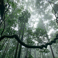 A twisted liana winds its way into the canopy among the virgin rainforest of Tawau Hills National Park in northern Borneo. Home to some of the tallest tropical trees in the world, the forests in these hills is inhabited by a rich diversity of wildlife.