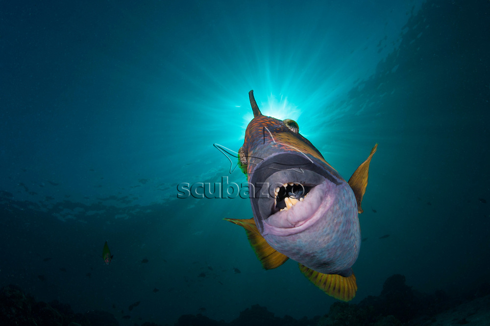 Face on view of a Titan Triggerfish, Balistoides viridescens, South Ari Atoll, Maldives, Indian Ocean