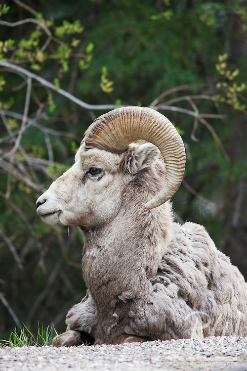 Male Bighorn Sheep (Ovis canadensis) Resting, Banff National Park, Alberta, Canada