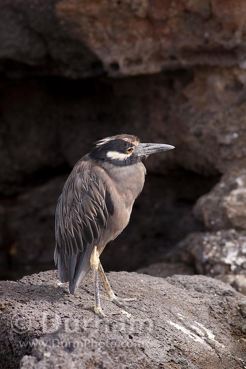 An adult yellow-crowned night heron (Nyctanassa violacea) on Genovesa Island, Galapagos Archipelago - Ecuador.