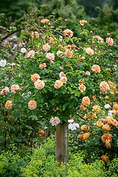 Rosa 'Port Sunlight' syn. 'Auslofty' AGM grown as a standard