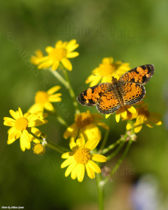 Pearl Crescent, Phyciodes tharos tharos, visiting Ragwort, Senecio sp.<br />