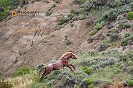 Stalllion Wild horse on the run in Theodore Roosevelt National Park, North Dakota, USA