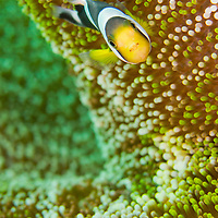 Alberto Carrera, Panda Clownfish, Amphiprion polymnus, Clownfish, Anemonefish, Damselfish, Lembeh, North Sulawesi, Indonesia, Asia