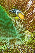 Alberto Carrera, Panda Clownfish, Amphiprion polymnus, Clownfish, Anemonefish, Damselfish, Lembeh, North Sulawesi, Indonesia, Asia