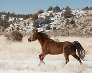 Arabian horse with winter coat running in fresh snow on field with bordering hills, © 2009 David A. Ponton [Prints to 8x10, 16x20, 24x30, or 40x50 in. with no cropping]