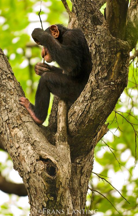 Juvenile chimpanzee spearing, Pan troglodytes, Senegal